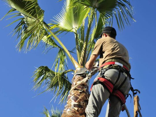 Palm Tree Trimming-Jackson Tree Trimming and Stump Grinding Services-We Offer Tree Trimming Services, Tree Removal, Tree Pruning, Tree Cutting, Residential and Commercial Tree Trimming Services, Storm Damage, Emergency Tree Removal, Land Clearing, Tree Companies, Tree Care Service, Stump Grinding, and we're the Best Tree Trimming Company Near You Guaranteed!
