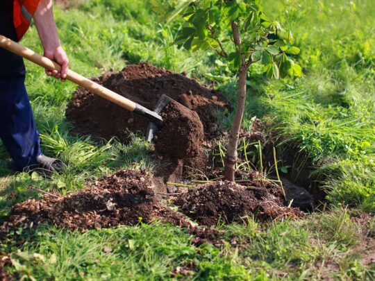 Tree Planting-Jackson Tree Trimming and Stump Grinding Services-We Offer Tree Trimming Services, Tree Removal, Tree Pruning, Tree Cutting, Residential and Commercial Tree Trimming Services, Storm Damage, Emergency Tree Removal, Land Clearing, Tree Companies, Tree Care Service, Stump Grinding, and we're the Best Tree Trimming Company Near You Guaranteed!